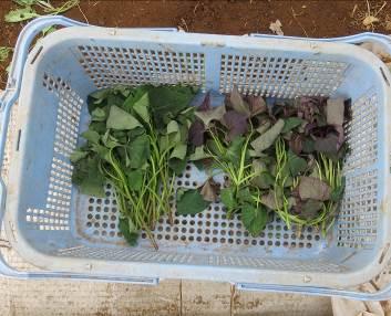 サツマイモ苗の萎れ
