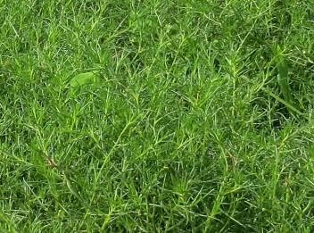 オカヒジキの葉