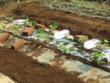 イチゴ苗除草シート囲い