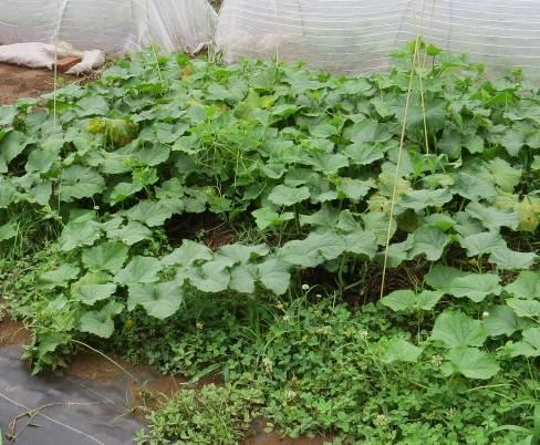 キューリ菜園