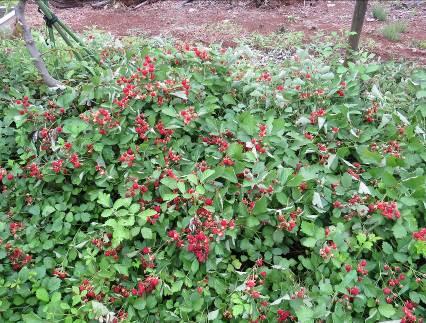 ナワシロイチゴ収穫直前
