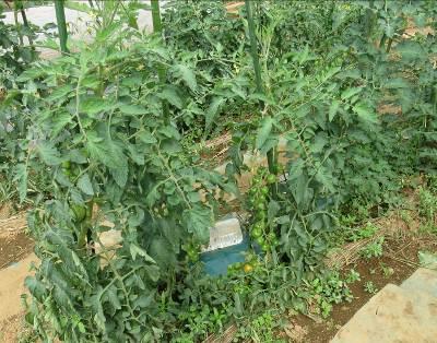 トマト菜園7月