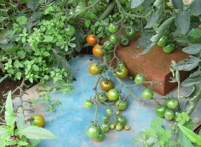 トマトの実と枝
