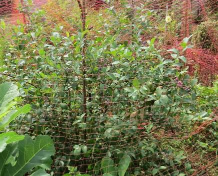 ブルーベリーと防鳥ネット