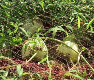 プリンスメロン収穫期葉枯