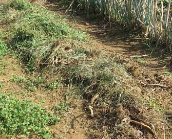 秋キューリ予定地の枯草