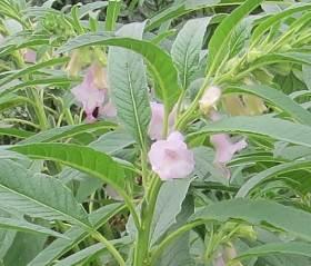 ゴマゾウ花