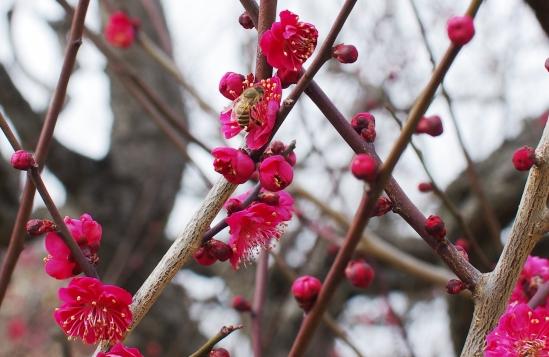 梅とみつばち
