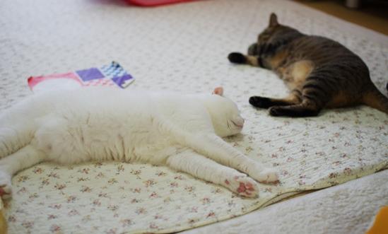 タマさんの近くに寝そべるチョコm-さd-