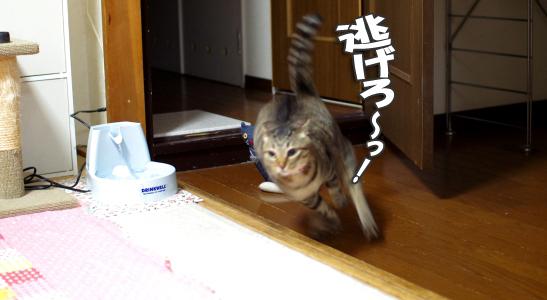 猫部屋から駆け抜けるチョコkコピー