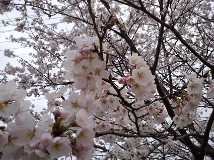 桜20144