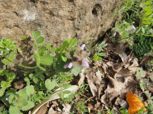 20140329・多磨植物1-04・ヒメオドリコソウ