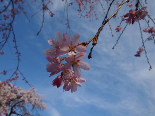 20140329・多磨植物1-21・ソメイヨシノ