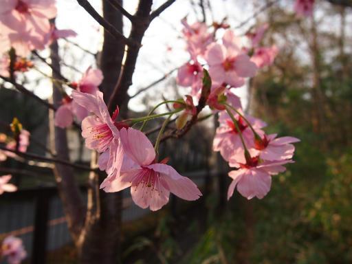 20140329・多磨植物3-01・カンヒザクラ
