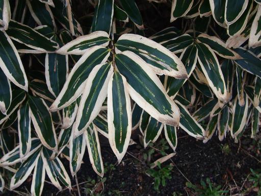 20140329・多磨植物3-07・クマザサ