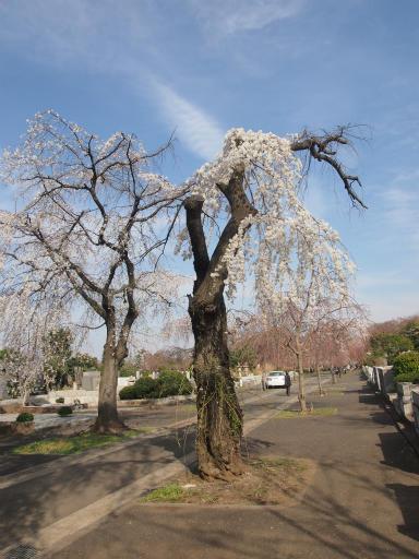 20140329・多磨植物空09