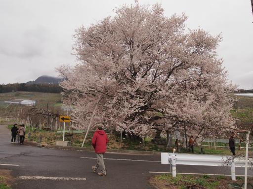 20140421・長野06-01・千歳桜
