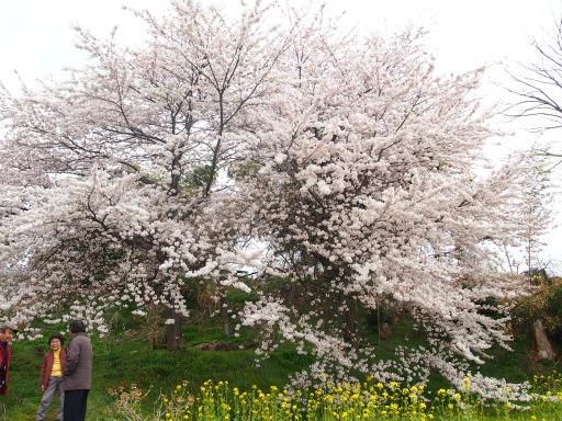 20140421・長野11-04・大日堂源平しだれ