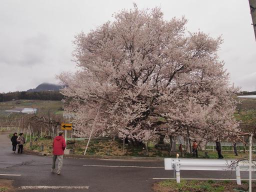 20140421・長野11-01・宇木千歳桜