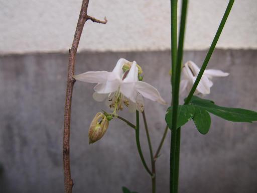 20140524・多聞院1-22・オダマキ