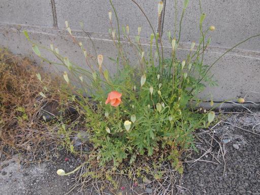 20140518・大月紀行植物02・鳥沢駅ナガミヒナゲシ
