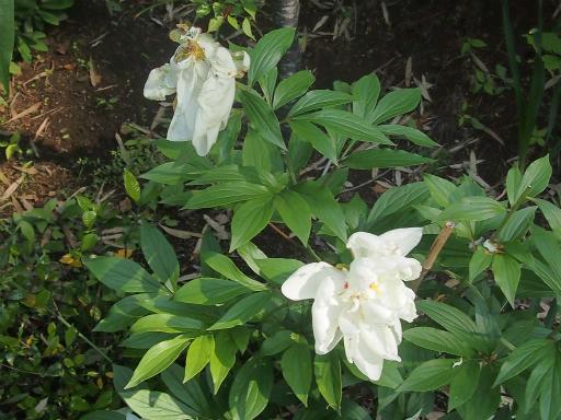 20140524・多聞院植物05・シャクヤク(白)