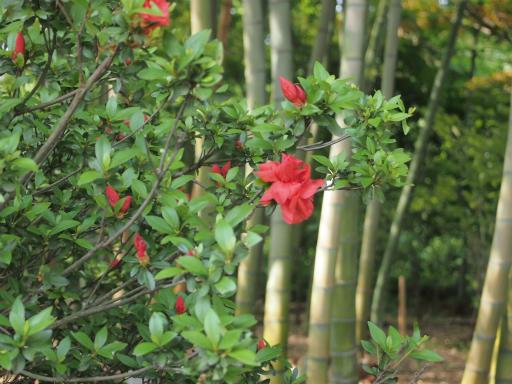 20140524・多聞院植物01・サツキ(八重)