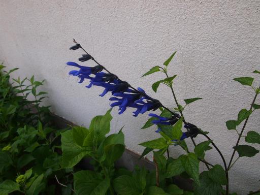 20140524・多聞院植物10・メドー・セージ