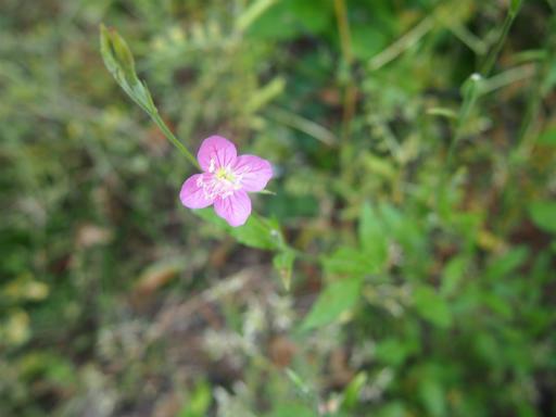 20140524・多聞院植物09・アカバナユウゲショウ