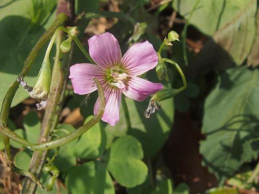 20140524・多聞院植物11・ムラサキカタバミ