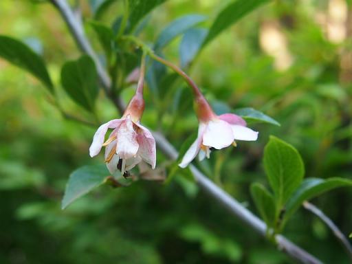 20140524・多聞院植物07・アカバナエゴノキ
