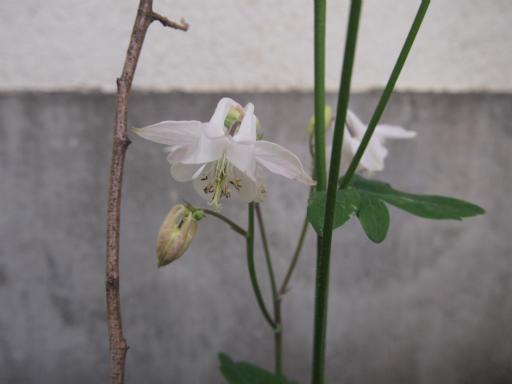 20140524・多聞院植物08・オダマキ