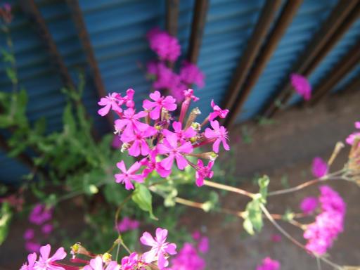 20140524・多聞院植物18・ムシトリナデシコ