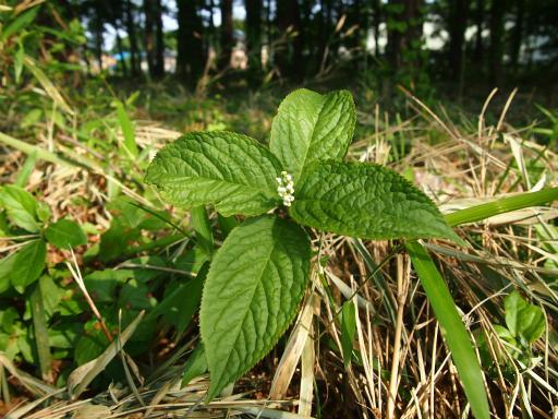 20140524・多聞院植物16・フタリシズカ