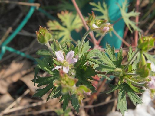 20140524・多聞院植物15・アメリカフウロ