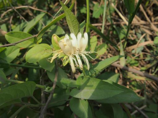 20140524・多聞院植物14・スイカズラ