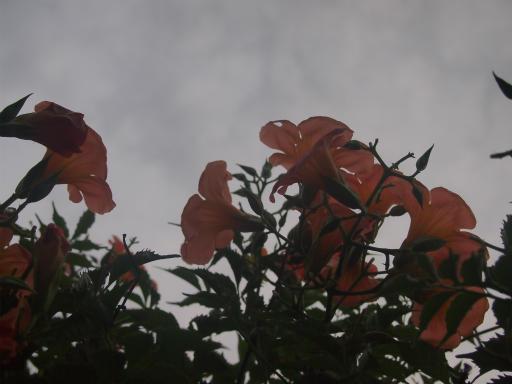 20140814・夏の朝06・ノウゼンカズラ