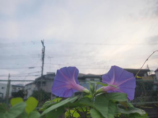 20140814・夏の朝05・アサガオ