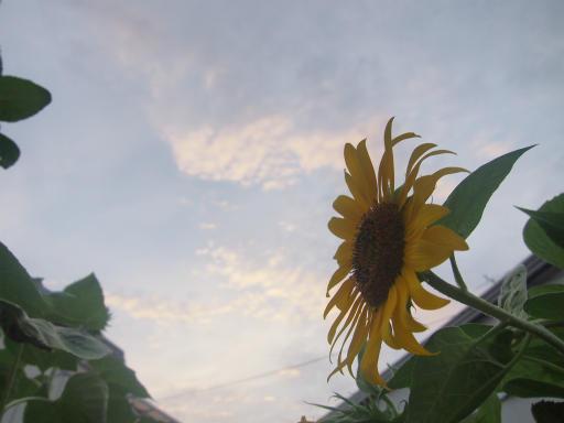 20140814・夏の朝03・ヒマワリ