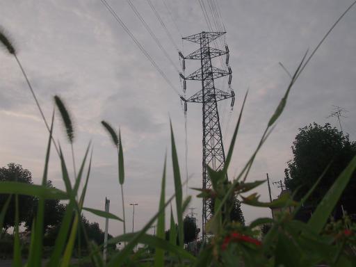 20140814・夏の朝20・エノコログサとショウジョウソウ