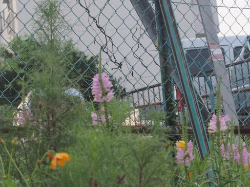 20140814・夏雑草06・ハナトラノオ&キバナコスモス