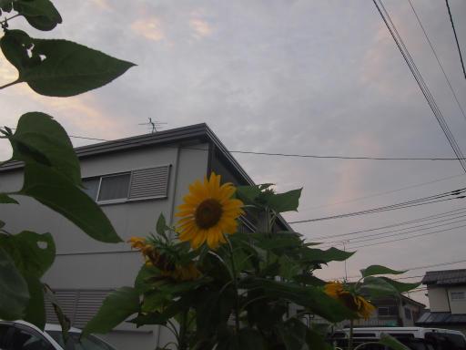 20140814・夏雑草01・ヒマワリ