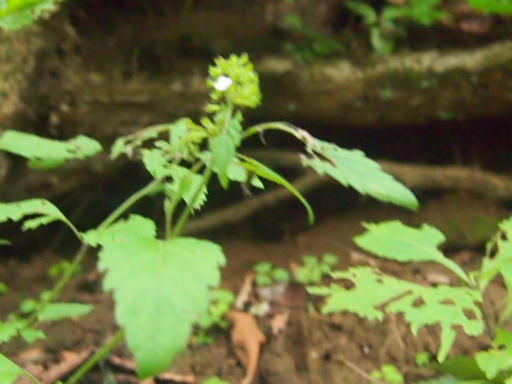 20140817・檜原植物06・ヤマトウバナ