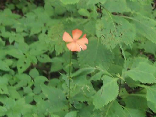 20140817・檜原植物04・フシグロセンノウ