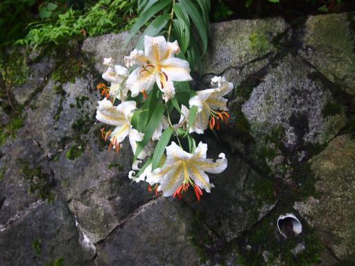 20140817・檜原植物03・ヤマユリ