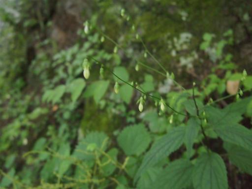 20140817・檜原植物11・シロバナソバナ