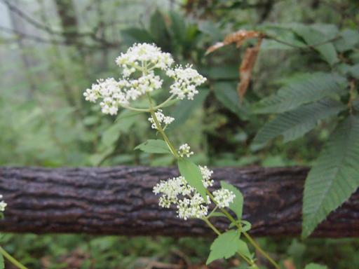 20140817・檜原植物14・オトコエシ