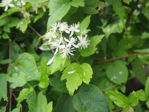 20140817・檜原植物15・センニンソウ