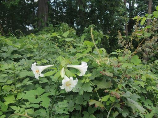 20140830・トトロ植物06・ウバユリ