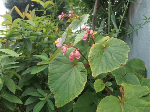 20140830・トトロ植物05・シュウカイドウ